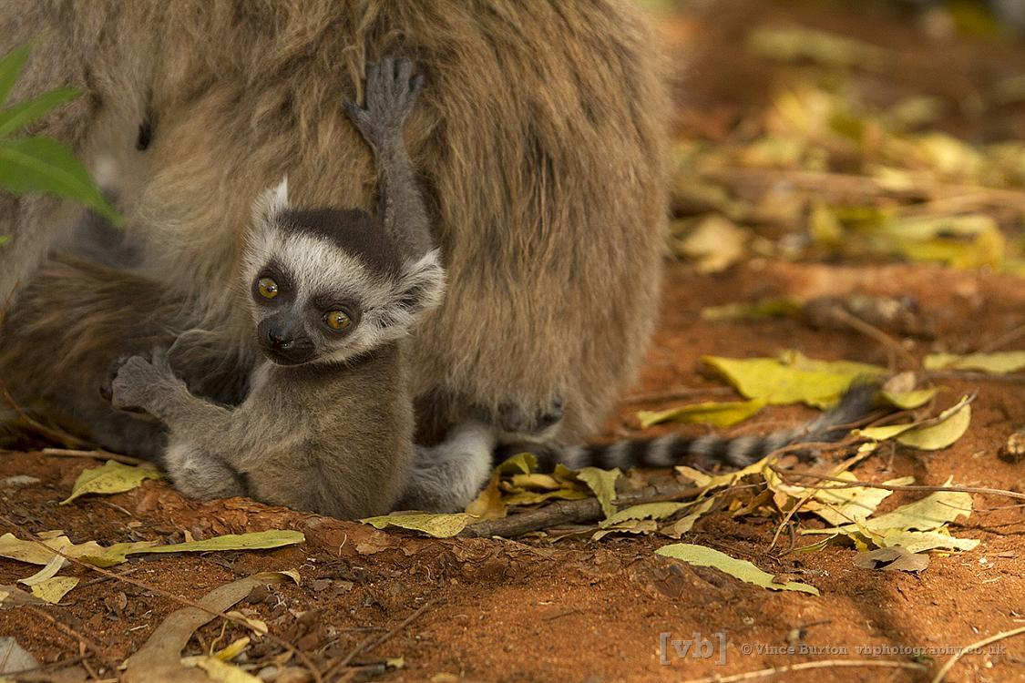 Baby Ring-tail Lemur